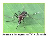 Aedes aegypti, mosquito transmissor do vírus da dengue no Brasil.