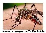 três imagens do mosquito Aedes aegypti, mostrando suas principais características.