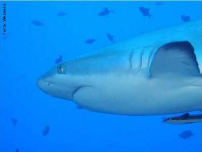 Elasmobranchii ou Selachii (seláquios): possuem fendas branquiais não-protegidas por opérculo e corpo recoberto por escamas. Estão representados por tubarões e arraias. É o maior grupo entre os condrictes, formado por cerca de 760 espécies. </br> Imagem: Tubarão <em>Carcharhinus amblyrhynchos</em>. </br></br> Palavra-chaves: elasmobranchii, selachii, tubarões, vertebrados.