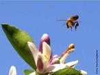 São insetos que vivem agrupadas em colônia dentro de colmeias e são conhecidas a mais de 40 mil anos. É um inseto extremamente organizado e trabalhador. Em cada colmeia existe cerca de 60 mil abelhas, há apenas uma abelha fêmea com os órgãos sexuais completamente formados, essa é chamada de rainha. </br></br> Palavra-chaves: abelha, biodiversidade, insetos, colmeia, colônia, zoologia.