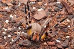 """As aranhas da espécie Phoneutria são conhecidas como aranhas armadeiras, pois quando se sentem ameaçadas apoiam-se nos dois pares de pernas traseiras, erguem o restante do corpo e """"armam"""" o ataque. Essas aranhas são muito rápidas e agressivas. Apresentam hábitos noturnos e não formam teias. Elas abrigam-se em fendas, sob casca de árvores ou troncos caídos, em bananeiras, bromélias, pilhas de tijolos telhas. A pessoa picada por Phoneutria sente forte dor local, que se irradia pelo corpo. Em crianças os acidentes são mais graves, podendo provocar a morte. O animal da foto pertence ao CPPI (Centro de Produção e Pesquisa de Imunobiologia). </br></br> Palavra-chaves: aracnídeos, aranha-armadeira, Phoneutria."""
