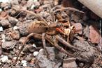 Estas aranhas também conhecidas como aranhas de jardim, de grama ou tarântula, apresentam como característica um desenho negro em forma de ponta de flecha no dorso do abdome. São aranhas errantes, vivem em gramados junto às residências e não são agressivas. O quadro clínico devido à sua picada é em geral pouco importante e o tratamento restringe-se ao curativo local. Não há necessidade de soroterapia específica. O animal da foto pertence ao CPPI (Centro de Produção e Pesquisa de Imunobiologia). </br></br> Palavra-chaves: aranhas de jardim, tarântula, aracnídeo.