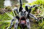 """As aranhas caranguejeiras são distribuídas em diversos gêneros e famílias, sendo representadas nas Américas pela subordem Orthognatha (Mygalomorphae). São também conhecidas como """"tarântulas"""" (EUA), """"reventa caballos"""" (América Central e México) ou """"arañas pollito"""" (Argentina e outros países de língua espanhola).As caranguejeiras são encontradas em ambientes quente e úmido. Geralmente possuem hábitos noturnos, apresentando variações em seus comportamentos, podendo existir espécies extremamente agressivas. Quando ameaçadas, apresentam o comportamento de esfregar suas patas posteriores no abdômen, lançando uma enorme quantidade de pêlos urticantes, que podem ocasionar irritações na pele ou mucosa. O animal da foto pertence ao CPPI (Centro de Produção e Pesquisa de Imunobiologia). </br></br> Palavra-chaves: caranguejeiras, subordem Orthognatha, aracnídeo."""