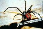 Aranha do gênero Lactrodectus mente conhecida como viúva negra, flamenguinha ou aranha ampulheta. No Brasil, os acidentes ocorrem na região Nordeste, principalmente no Estado da Bahia, Ceará, Rio Grande do Norte e Sergipe. Normalmente ocorrem quando são comprimidas contra o corpo. A fêmea apresenta o corpo com aproximadamente 1cm de comprimento e 3cm de envergadura de pernas, o macho de 3 a 6mm, não é causador de acidentes. Habitam jardins, parques, gramados e plantações e podem ocultar-se nas residências. Têm hábitos sedentários, fazem teias irregulares, vivem de forma gregária e não são agressivas. </br></br> Palavra-chaves: aranha viúva negra, artrópodos, aracnídeos, latrodectus, biodiversidade.