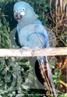 Restrita à caatinga baiana, mais precisamente nos municípios de Canudos, Euclides da Cunha e Jeremoabo, a Arara-azul-de-lear é uma das aves brasileiras menos conhecidas e mais ameaçadas de extinção. As ameaças à espécie vão desde a captura e comércio ilegal dessas aves até à intensa perda de habitat, ocasionados pela derrubada da mata nativa por atividades agropecuárias de subsistência. Bastante semelhante à Arara-azul-grande, a Arara-azul-de-lear é mais arisca, nitidamente menor, com uma plumagem mais desbotada, sendo o dorso e a cauda azul cobalto. Uma exceção em relação às outras araras-azuis é o fato de não dormirem empoleiradas, e sim em fissuras dos canyons, onde chegam aos finais de tarde, fazendo estardalhaço e sobrevoando aos bandos até acomodarem-se. </br></br> Palavra-chaves: arara azul de lear, aves, psitacídeos, habitat, extinção, biodiversidade.