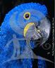 A arara-azul-grande pertence a ordem Psittaciforme e a família Psittacidae, sendo a maior arara do mundo. Chega a medir 1 metro de comprimento, pesar de 1 a 2 kg e a força do seu bico pode chegar a 1 tonelada. Também é conhecida como araraúna. Atualmente a espécie encontra-se distribuída em três áreas, formando populações distintas. São encontradas nos estados do Pará, Piauí, Maranhão, Goiás, São Paulo, Minas Gerais, e a maior população se encontra em Mato Grosso e Mato Grosso do Sul. A arara-azul habita áreas de cerrado, mata ciliares e buritizais. Vive em pares ou pequenos grupos, alimentando-se de sementes e frutos, principalmente de palmeiras, como o acurí e bocaiúva. Atualmente existem algumas instituições que possuem estas aves em cativeiro e que apresentam um importante papel na divulgação do manejo, cooperação com possíveis projetos de campo e na Educação Ambiental, conscientizando a população da importância da preservação desta arara de beleza única. </br></br> Palavra-chaves: arara-azul-grande, aves, psitacídeos, habitat, biodiversidade, preservação.