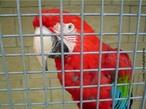 A arara-vermelha é uma ave psitaciforme, nativa das florestas do Panamá ao Brasil, Paraguai e Argentina. A sua alimentação é baseada em sementes, frutas, coquinhos. </br></br> Palavra-chaves: arara-vermelha, ave, fauna, habitat, biodiversidade, zoologia.