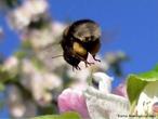 São insetos que vivem agrupadas em colônia dentro de colmeias e são conhecidas a mais de 40 mil anos. É um inseto extremamente organizado e trabalhador. Em cada colméia existe cerca de 60 mil abelhas, há apenas uma abelha fêmea com os órgãos sexuais completamente formados, essa é chamada de rainha. </br></br> Palavra-chaves: abelha, biodiversidade, insetos, colmeia, colônia, zoologia.