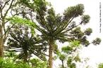 Floresta ombrófila mista, também Floresta de Araucária, é um ecossistema com chuva durante o ano todo, normalmente em altitudes elevadas, e que contém espécies angiospermas mas também coníferas. Encontrado no Brasil principalmente nos estados de Santa Catarina e Paraná, faz parte do bioma mata atlântica. </br></br> Palavra-chaves: araucária, floresta ombrófila mista, ecossistema, clima, vegetação, bioma, biodiversidade.