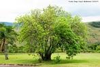 Aroeira ou arrueira é o nome  de várias espécies de plantas da família Anacardiaceae. </br></br> Palavra-chaves: aroeira, árvore, anacardiaceae, botânica.