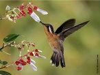 Também chamado de colibri, o beija-flor é uma ave que só existe no continente americano, e pode ser encontrado desde a Terra do Fogo até o Alaska. A maioria das espécies está na América do sul e a metade delas se encontra no Brasil. São pássaros que impressionam pelo seu colorido muito variado que muda de acordo com o ângulo do qual são observados. O bico desta ave é bem longo (para retirar néctar das flores) e sua visão é bastante acurada, sendo capaz de detectar cores no espectro ultravioleta. Estas aves são normalmente pequenas, seu peso oscila entre 2 a 6 gramas e o tamanho varia de 6 a 12 cm de comprimento. </br></br> Palavra-chaves: beija-flor, colibri, ave, biodiversidade.