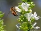 São insetos que vivem agrupadas em colônia dentro de colméias e são conhecidas a mais de 40 mil anos. É um inseto extremamente organizado e trabalhador. Em cada colméia existe cerca de 60 mil abelhas, há apenas uma abelha fêmea com os órgãos sexuais completamente formados, essa é chamada de rainha. </br></br> Palavra-chaves: abelha, biodiversidade, insetos, colméia, colônia, zoologia.