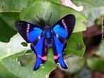 As borboletas têm dois pares de asas membranosas cobertas de escamas e peças bucais adaptadas a sucção. Distinguem-se das traças (mariposas) pelas antenas rectilíneas que terminam numa bola, pelos hábitos de vida diurnos, pela metamorfose que decorre dentro de uma crisálida rígida e pelo abdômen fino e alongado. Quando em repouso, as borboletas dobram as suas asas para cima. </br></br> Palavra-chaves: borboleta, metamorfose, habitat, biodiversidade, lepidoptera.