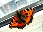 As borboletas têm dois pares de asas membranosas cobertas de escamas e peças bucais adaptadas a sucção. Distinguem-se das traças (mariposas) pelas antenas rectilíneas que terminam numa bola, pelos hábitos de vida diurnos, pela metamorfose que decorre dentro de uma crisálida rígida e pelo abdômen fino e alongado. Quando em repouso, as borboletas dobram as suas asas para cima. </br></br> Palavra-chaves: borboleta, metamorfose, habitat, biodiversidade.