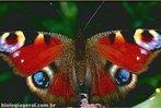Semelhante ao fenômeno da camuflagem, o mimetismo permite uma proteção para as espécies. </br></br> Palavra-chaves: mimetismo, borboleta, camuflagem, biodiversidade, zoologia.