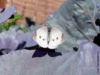 As borboletas têm dois pares de asas membranosas cobertas de escamas e peças bucais adaptadas a sucção. Distinguem-se das traças (mariposas) pelas antenas rectilíneas que terminam numa bola, pelos hábitos de vida diurnos, pela metamorfose que decorre dentro de uma crisálida rígida e pelo abdômen fino e alongado. Quando em repouso, as borboletas dobram as suas asas para cima. </br></br> Palavra-chaves: borboleta branca, metamorfose, habitat, biodiversidade.