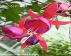 Flor símbolo do Rio Grande do Sul, o brinco-de-princesa ou fúcsia é uma planta que faz um enorme sucesso internacional. Possui muitas variedades, sendo que tanto pétalas, quanto sépalas podem ser de cores e de formas diferentes. As cores mais comuns são vermelho, rosa, azul, violeta e branco, com diversas combinações, sem mesclas. A ramagem é pendente, mas pode haver variações, com plantas mais eretas e outras mais pendentes. </br></br> Palavra-chaves: brinco-de-princesa, flor, botânica, biodiversidade.