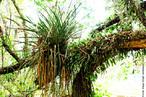 As bromélias não são parasitas, na natureza, aparecem como epífitas: simplesmente apoiando-se em outro vegetal para obter mais luz e mais ventilação. </br></br> Palavra-chaves: planta epífita, bromélias, botânica, biodiversidade.