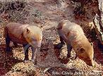 O cachorro vinagre é da Família Canidae e são os menores canídeos silvestres do Brasil. A gestação dura entre 65 e 80 dias, nascendo geralmente 3 a 4 filhotes que desmamam com 2 a 3 meses de idade. Sua distribuição vai desde o Panamá, Colômbia, Venezuela, Guianas, grande parte do Brasil, Equador, Peru, Bolívia Paraguai e Argentina. São animais que capturam pequenas presas como insetos, mas quando em grupos capturam pacas, gambás, patos, rãs, cutias. Em cativeiro alimentam-se de ração balanceada, carne crua e frutas. O cachorro vinagre, apesar de possuir ampla distribuição, é uma espécie rara e pouco conhecida da América do Sul. São ótimos cavadores e com suas unhas abrem galerias no chão. Abrigam-se em ocos de árvores e buracos de tatus. Em cativeiro, costumam sair pela manhã e a tarde ficam em seus abrigos. </br></br> Palavra-chaves: cachorro-vinagre, cães, mamíferos, canídeos, habitat, zoologia.
