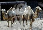 O camelo é um animal herbívoro, de pelagem que varia do branco ao castanho-escuro. Diferencia-se do dromedário por possuir 2 corcovas, e por seu maior tamanho. Chega a 2,5 m de altura e seu peso pode variar de 300 a 690 kg. O tempo de gestação é de 360 a 440 dias, nascendo apenas um filhote. Vivem em bandos e aguentam condições climáticas verdadeiramente extremas, especialmente em áreas onde as temperaturas no verão podem chegar a 60 ºC de dia e à noite são inferiores a 0 ºC. São nativos de áreas secas e desérticas da Ásia. Outras adaptações à vida no deserto, incluem uma pelagem esparsa e suave que permite refrigeração, patas de base larga, com uma área que impede que se enterrem na areia e pestanas longas que protegem os olhos do animal durante tempestades de areia. Estes animais foram domesticados como meio de transporte à semelhança do cavalo. Também são usados para obtenção de leite, carnes e como animais de carga. </br></br> Palavra-chaves: camarões, crustáceos, biodiversidade, zoologia.