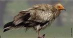 Esta espécie pode ser encontrada no Sul da Europa, na Ásia e África. Ainda é possível de encontrar este necrófago em alguns locais de Portugal, entre a primavera e o outono. Ocasionalmente, pode ser observado noutros locais, mas o seu aparecimento é muito remoto e normalmente são aves destes parques que temporariamente abandonam o seu território, voltando depois aos locais de origem. O seu tradicional voo em círculo não é mais que o aproveitar das correntes térmicas, o que lhe permite manter-se no ar por longos períodos sem fazer qualquer tipo de esforço, enquanto procura alimento. Como forma de garantir a permanência destes animais nos nossos céus são deixados por locais considerados apropriados, carcaças de animais mortos, para garantir um mínimo de alimentação permanente e de boas condições a estes animais e outros animais necrófagos. Apesar de todos os esforços feitos, esta espécie ainda está em perigo, pelo que vai ser necessário continuar a seguir e monitorizar estas aves no seu habitat durante algum tempo. </br></br> Palavra-chaves: abutre do Egito, aves, habitat, biodiversidade.
