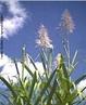 Planta da Família Poaceae, representada pelo milho, sorgo, arroz, cana e muitas outras gramas. As principais características dessa família são a forma da inflorescência (espiga), o crescimento do caule em colmos, e as folhas com lâminas de sílica em suas bordas e bainha aberta. </br></br> Palavra-chaves: cana, inflorescência, planta, botânica, biodiversidade.