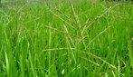 As gramíneas também conhecidas como capins, gramas ou relvas, são plantas floríferas, monocotiledôneas. </br></br> Palavra-chaves: capim, gramínea, planta, botânica.