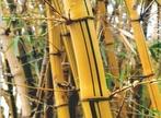 O caule é a parte da planta que liga a raiz às folhas, às flores e aos frutos. Existem vários tipos de caules, sendo que o colmo é um tipo de caule encontrado nas gramíneas como: cana-de-açúcar, milho, arroz e outras. </br></br> Palavra-chaves: caule, colmo, planta, botânica, biodiversidade.