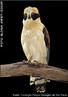 Dentre os falcões, um de encantadora beleza e fascinantes hábitos é o Acauã, cuja dieta inclui serpentes e morcegos. Existem três subespécies de Acauã, que ocorrem apenas na América, aparecendo do Sul do México ao Centro da América do Sul. No Brasil ocorre em áreas preservadas, onde há pouca interferência humana. Além das florestas úmidas, habitam também áreas mais secas como o Cerrado e a Caatinga, onde há farta oferta de alimento. Assim como os outros rapinantes, quase não há estudos de sua história natural. No entanto, devido aos registros de sua ocorrência nas florestas, podemos dizer que não é uma ave ameaçada de extinção. Porém, como todos os animais dependentes dos recursos alimentares que a floresta preservada oferece, está sob risco de ver seus ambientes naturais em constante processo de destruição pelo homem. </br></br> Palavra-chaves: acauã, aves, habitat, biodiversidade.