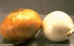 Um bolbo ou bulbo é um tipo de órgão vegetal de algumas plantas perenes que inclui uma parte correspondente ao caule. </br></br> Palavra-chaves: caule em bulbo, cebola, órgão, plantas, botânica.