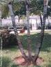Caule em estipe não apresenta ramificações, as folhas situam-se na extremidade superior. São exemplos de estipe os caules das palmeiras e dos coqueiros. </br></br> Palavra-chaves: caule em estipe, palmeiras, coqueiros, botânica, biodiversidade.