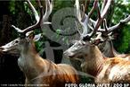 Os cervos nobres distribuem-se naturalmente pela Ásia, Europa e América do Norte. Ocupam grande variedade de habitats, como florestas, campos e montanhas. Apresentam hábitos diurnos e são sociáveis. Fora da época reprodutiva os grupos são formados por até 07 indivíduos, onde o macho dominante é sempre o mais velho e o mais forte. A disputa da hierarquia com o macho dominante, ocorre entre 7 e 10 anos de idade, com lutas freqüentes, marcação de território e vocalização. Somente machos possuem chifres, que caem todos os anos, reaparecendo na primavera, a partir do segundo ano de vida. </br></br> Palavra-chaves: cervo-nobre, mamíferos, cervídeos.