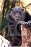 O Chimpanzé é um primata que faz parte da mesma família que os humanos, a família Hominidae, possuindo uma semelhança genética de mais de 99%. Podem atingir até 1 metro de altura e pesar até 100 kg, de acordo com seu sexo. Ocasionalmente, podem se locomover de forma bípede, como os humanos. Geograficamente estão distribuídos nas florestas e matas secas de savana, e nas florestas tropicais de áreas baixas até áreas montanhosas, superiores à 3000 metros de altitude, na região central do continente africano. Os chimpanzés possuem uma alimentação bem variada, sendo as frutas o principal alimento de sua dieta, mas também consomem muitas folhas, flores, sementes e, ainda, pequenos animais, como alguns pássaros, formigas, cupins, vespas e algumas larvas. Os chimpanzés machos podem fazer pares com fêmeas, mas a promiscuidade é comum na espécie. Há casos em que a fêmea copulou 50 vezes com 14 machos diferentes em um só dia. Estes animais tem orgasmos e vocalizações específicas de cópula. Na verdade, são conhecidos 34 tipos diferentes de vocalizações nesta espécie. </br></br> Palavra-chaves: chimpanzé, mamíferos, primatas, pongídeos.
