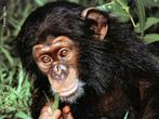 Os chimpanzés podem ser encontrados numa vasta área da África Central e Ocidental. Seu habitat, compreende as florestas densas e savanas, contudo, existem alguns grupos destes animais a viver acima dos 2.000 metros de altitude. São omnívoros, e dependem do tipo de alimento que encontram na sua região, como frutas, folhas, plantas, nozes, bagas, insetos, mel, ovos, pequenos antílopes e macacos. Eles atingem a maturidade sexual por volta dos 8/10 anos. Um chimpanzé adulto, pode atingir no máximo 1,70m e pesar 85 kg, e atingir uma longevidade em torno de 60 anos. </br></br> Palavra-chaves: chimpanzé, alimentação, habitat, maturidade sexual, reprodução.