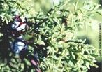 Cipreste é o termo genérico aplicado a uma grande variedade de espécies de árvores coníferas da Família das Cupressaceae, ou Família dos Ciprestes, muito utilizadas como árvores ornamentais e para a produção de madeira. As gimnospermas são plantas terrestres que vivem, preferencialmente, em ambientes de clima frio ou temperado. Nesse grupo incluem-se plantas como pinheiros, as sequóias e os ciprestes. </br></br> Palavra-chaves: cipreste, gimnosperma, clima, vegetação, biodiversidade.