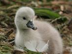 Os cisnes são aves aquáticas da sub-família Anserinae, que inclui também os gansos. No seu conjunto formam o género Cygnus, sendo caracterizados pelo longo pescoço e por patas curtas. A sua distribuição geográfica é diversificada, sendo os cisnes do hemisfério norte brancos, enquanto que os do hemisfério sul apresentam plumagem por vezes colorida. Os cisnes formam casais monogâmicos e constroem ninhos onde chocam entre 3 a 8 ovos. Se a nidificação falha, é comum os membros do casal procurarem outro parceiro. </br></br> Palavra-chaves: cisne, habitat, ave.