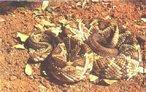 A Cascavel é a única espécie que ocorre no Brasil e que apresenta 5 subespécies. Também chamada de Maracabóia e Boicininga, é uma serpente de hábito terrícola. Também ativa no crepúsculo. Possui um calo ósseo na extremidade da cauda que, a cada troca de pele origina um anel queratinizado. Estes anéis possuem um sistema de encaixe formando, depois de algumas trocas, um guizo. Cada anel do guizo não representa um ano de vida da Cascavel, mas sim uma muda de pele. Podem ocorrer várias trocas de pele num único ano. A maioria das serpentes agita a cauda quando irritadas. Como possuem o guizo, produzem o som característico de chocalho. Em virtude do desmatamento descontrolado, esta Cascavel já é encontrada em algumas áreas alteradas, originalmente com cobertura de mata, adaptando-se bem a elas. </br></br> Palavra-chaves: cascavel, cobras venenosas, répteis, serpentes, viperídeos, <em>Crotalus duríssus</em>, habitat.