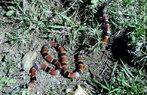 Cobra coral, coral, boicorá, serpente de hábito subterrâneo. Vive sob o solo, sob o folhiço, em troncos em decomposição, entre raízes e pedras. Não é agressiva, não dá bote, oferece perigo somente quando manuseada. Sua presa de veneno é fixa e pequena e localizada na parte anterior da boca, por isso morde ao invés de picar. Quando molestada esconde a cabeça junto ao corpo, levanta e enrola a cauda, dando a impressão de tratar-se da cabeça. Este é um comportamento defensivo e é usado por várias espécies, justamente para que a Coral tenha uma chance de morder enquanto o oponente se distrai com a cauda mais elevada. </br></br> Palavra-chaves: cobra coral, boicorá, répteis, serpentes.