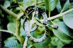 Muitas pessoas as chamam de aararaquinha dormideira. Trata-se de uma cobra extremamente inofensiva e calma, mesmo quando manipulada com as mãos. É muito comum encontra-las em hortas, lugar frequentado pelas lesmas do qual se alimenta. Seu tamanho varia de 15cm até 40cm. Alimenta-se de lesmas. Reprodução: Ovípara, coloca entre 05 e 10 ovos com o nascimento previsto para início da estação chuvosa. </br></br> Palavra-chaves: cobra dormideira, jararaquinha dormideira, répteis, ovípara, habitat.