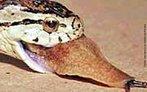 As cobras para se alimentar, localiza o focinho do animal encostando a cabeça e a língua sobre a sua pele e identifica a inclinação dos pelos, que são orientados para a cauda. A deglutição do alimento é interrompida de tempos em tempos para que ela possa respirar. </br></br> Palavra-chaves: cobras alimentação, répteis, serpentes, viperídeos, habitat.