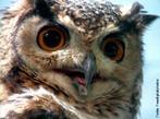 O termo coruja é a designação comum às aves estrigiformes, das famílias dos titonídeos e estrigídeos. Tais aves possuem hábitos crepusculares e noturnos e vôo silencioso devido à estrutura das penas, alimentando-se de pequenos mamíferos (principalmente de roedores), insetos e aranhas. </br></br> Palavra-chaves: coruja, aves, biodiversidade, zoologia.