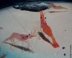Os crustáceos, como o camarão, têm o corpo dividido em cefalotórax (fusão da cabeça com o tórax) e abdome. Eles possuem um número variável de pernas, geralmente cinco pares, e dois pares de antenas. No cefalotórax encontram-se os olhos, as antenas, a boca e alguns pares de pernas. As antenas têm função tátil. No abdome encontram-se outros pares de pernas. </br></br> Palavra-chaves: crustáceos, invertebrados, arthropoda, camarão.