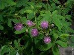 A dormideira ou sensitiva (<em>Mimosa pudica</em> L.) é um pequeno arbusto perene da América tropical, pertencente à família das ervilhas. Este nome é devido à forma como os folíolos das folhas se juntam quando ela é tocada ou exposta ao calor. </br></br> Palavra-chaves: dormideira, sensitiva, folíolos.