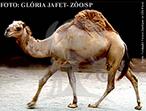 O dromedário habita desertos e planícies áridas do Norte da África e Oriente Médio. É parente do camelo, porém difere deste por possuir apenas uma corcova. Embora muitas pessoas acreditem a corcova não é composta de água, mas sim de gordura, servindo como reserva energética ao animal. O estoque de gordura da corcova e a capacidade de beber até 57 litros de água de uma só vez, permitem ao dromedário resistir a caminhadas de muitos quilômetros, tornando-o um eficiente meio de transporte. Ele possui uma musculatura nas narinas que possibilita seu fechamento, protegendo-as das ventanias de areia no deserto. São animais de hábitos diurnos e dieta herbívora, sendo encontrados vivendo sozinhos ou em grupos que podem conter mais de 30 dromedários. </br></br> Palavra-chaves: dromedário, mamíferos, artiodactila, camelídeos.