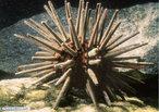Os equinodermos são animais exclusivamente marinhos. A palavra Echinodermata foi empregada para este grupo de animais por apresentarem uma característica marcante: a presença de espinhos na pele. Esses espinhos, muito evidentes nos ouriços-do-mar, são formados por carbonato de cálcio. </br></br> Palavra-chaves: equinodermos,ouriço.