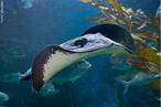 Elasmobranchii ou Selachii (seláquios): possuem fendas branquiais não-protegidas por opérculo e corpo recoberto por escamas. Estão representados por tubarões e arraias. É o maior grupo entre os condrictes, formado por cerca de 760 espécies. </br> Imagem: Arraia Dasyatidae </br></br> Palavra-chaves: elasmobranchii, selachii, arraia, vertebrados.