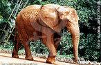 De estrutura muito maciça apresenta corpo pesado apoiado sobre pernas grossas em forma de pilares em pés amplos, a tromba é um órgão flexível e longo que apresenta narinas na ponta e que tem a função de transportar alimento, água, cheirar, levantar e analisar objetos. A longa e flexível tromba apresenta dois dedos na ponta e pode pesar até 200 kg, as orelhas são enormes e podem alcançar metade da altura do indivíduo. De acordo com a subespécie pode ocorrer uma variação de habitats como florestas, campos, savanas e desertos. Três quartos da vida do elefante são devotados a procura por recursos de comida e água, a dieta é estritamente herbívora. A maior parte dos elefantes consomem entre 70-150 kg de comida e 80-100 litros de água por dia. As acácias estão entre folhagens e frutas as mais consumidas e favoritas dos elefantes. A longevidade é de 70 anos. Habitam florestas, savanas e regiões montanhosas dependendo da subespécie.Algumas pesquisas mostram que os elefantes podem se comunicar através de (infra-som) passando informações para os outro membros do grupo, são gregários e formam por vezes grupos de mais de 100 indivíduos sendo liderados por uma fêmea mais velha, a matriarca. </br></br> Palavra-chaves: elefante africano, mamíferos, probocídeos, elefantídeos, habitat, zoologia.