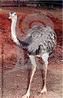 A ema pertence ao grupo das aves ratitas, que são aves de grande porte, pernaltas e que não voam. São as maiores e mais pesadas aves brasileiras, podendo medir até 1,70 m de altura e pesar até 34 kg. Com penas de coloração acinzentada, os machos podem se distinguir das fêmeas pela mancha negra no pescoço, peito e dorso. Sua alimentação é composta principalmente por folhas, frutas, sementes e insetos. São aves catadoras que andam e pastam a procura de qualquer pequeno animal que esteja a seu alcance. Quando perseguidas, fogem em grande velocidade, podendo chegar até 60 km/h. Ocorre nesta espécie o fenômeno do albinismo, originando espécimes de rara beleza e muito apreciados pelos criadores de aves. Em natureza, estas aves albinas dificilmente sobrevivem, pois são facilmente avistadas por predadores. </br></br> Palavra-chaves: ema, aves, albinas, habitat, biodiversidade.