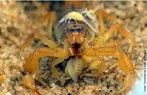 Escorpião (<em>Buthus atlantis</em>) parindo filhotes. Os escorpiões são vivíparos. Ao nascerem, os filhotes são conduzidos um a um pela mãe até o dorso, onde permanecem até a realização da primeira troca de pele. Os escorpiões são carnívoros e alimentam-se exclusivamente de animais vivos. Fazem parte de sua dieta, cupins, baratas, grilos, aranhas e pequenos vertebrados. Habitam todos os continentes, exceto a Antártida, ocupando quase todos os ecossistemas terrestres como savanas, desertos, cerrados, florestas temperadas e tropicais, enterrando-se no solo úmido das matas, na areia dos desertos, ao longo das praias, na zona entre marés ou em cavernas. Costumam abrigar-se em bromélias existentes no solo ou em árvores de grande altitude, sob pedras, madeiras, troncos podres ou em galerias no solo úmido das matas. Algumas espécies são mais ativas durante os meses quentes, porém nos trópico, os escorpiões permanecem ativos durante todo o ano. </br></br> Palavra-chaves: escorpião, artrópodes, aracnídeos, biodiversidade.
