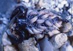 Escorpião e filhotes. O Opistophthalmus é um gênero de escorpião comumente conhecida como Escorpião Escavador, Escorpião Sibilador. Eles são encontrados predominantemente na África Austral e são conhecidos por fazer escavações profundas e elaboradas. Têm grandes e poderosas pinças. Eles variam na cor do amarelo até o marrom ao preta normalmente com áreas mais escuras ou mais leves. A cor de perna é normalmente muito leve diferente do resto do corpo. </br></br> Palavra-chaves: escorpião, <em>Opistophthalmus cayaporum</em>, artrópodes, aracnídeos, biodiversidade.